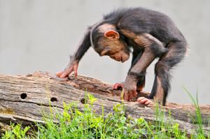 Gollum chimp